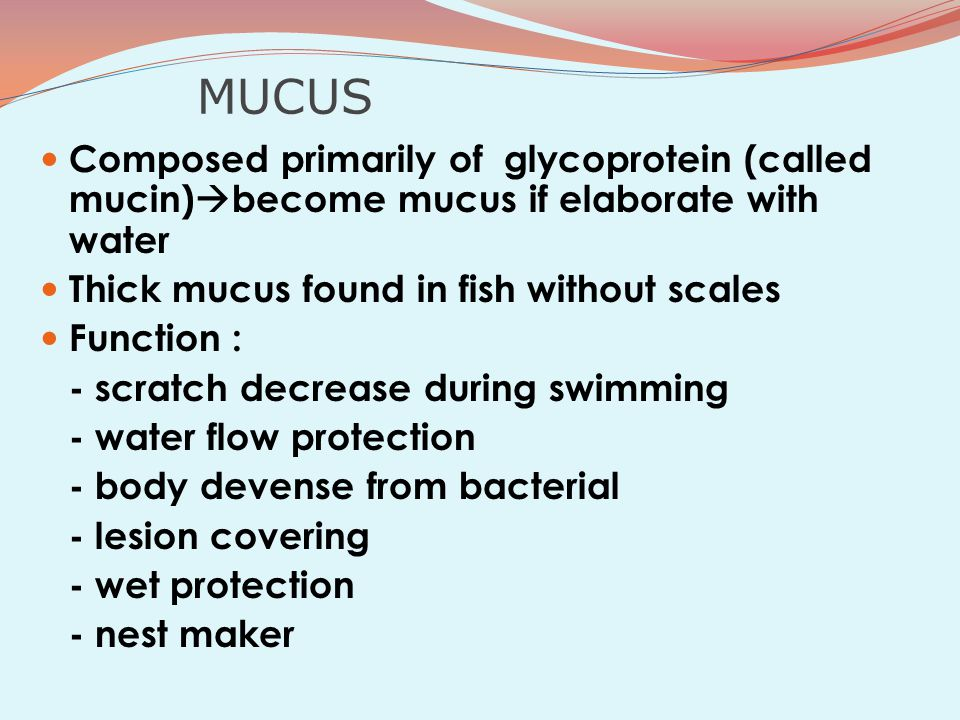 MUCUS Composed primarily of glycoprotein (called mucin)  become mucus if elaborate with water Thick mucus found in fish without scales Function : - scratch decrease during swimming - water flow protection - body devense from bacterial - lesion covering - wet protection - nest maker