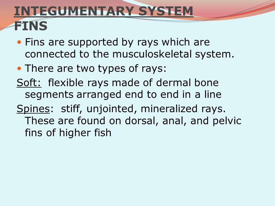 INTEGUMENTARY SYSTEM FINS Fins are supported by rays which are connected to the musculoskeletal system. There are two types of rays: Soft: flexible ra