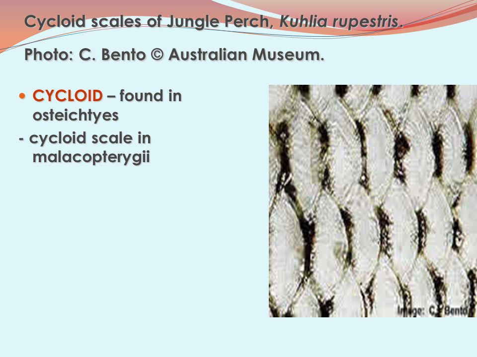 Cycloid scales of Jungle Perch, Kuhlia rupestris.Photo: C.