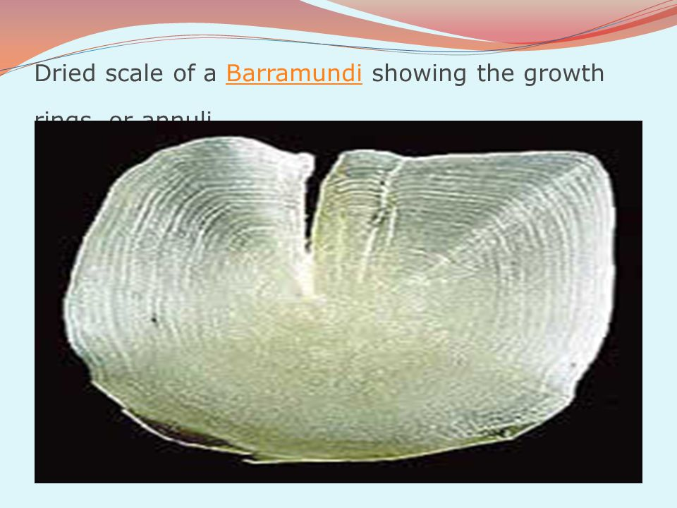 Dried scale of a Barramundi showing the growth rings, or annuliBarramundi