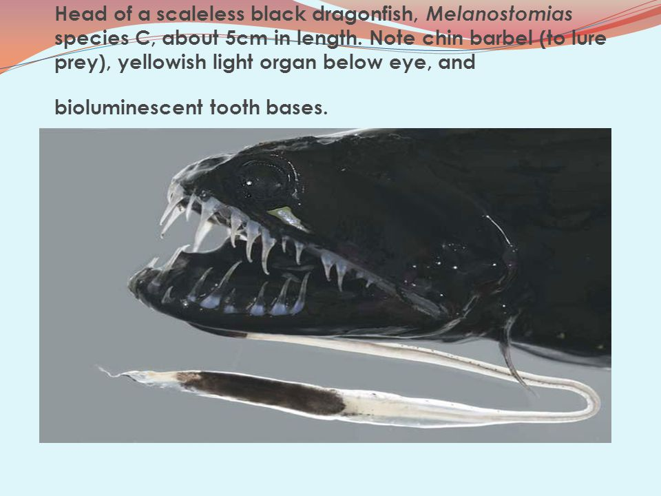 Head of a scaleless black dragonfish, Melanostomias species C, about 5cm in length.
