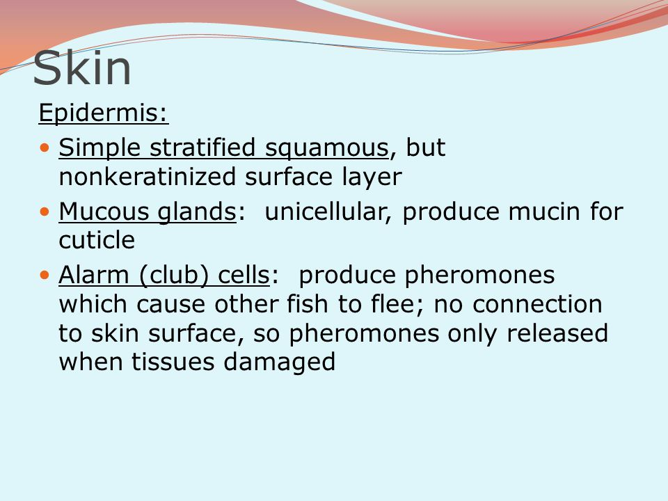 Skin Epidermis: Simple stratified squamous, but nonkeratinized surface layer Mucous glands: unicellular, produce mucin for cuticle Alarm (club) cells:
