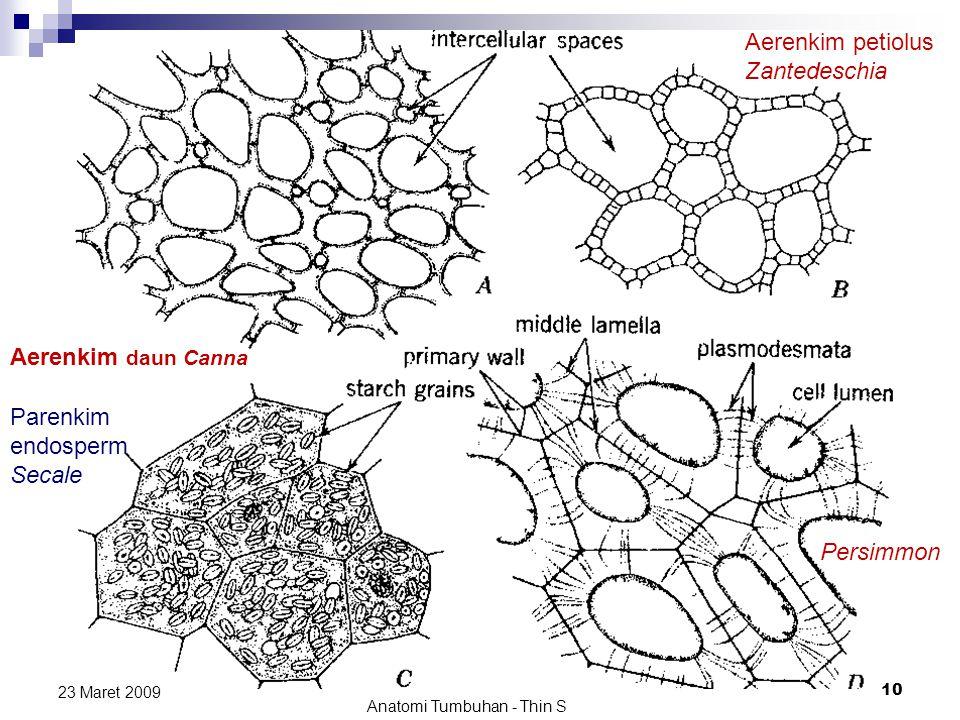 Aerenkim daun Canna 23 Maret 2009 Anatomi Tumbuhan - Thin S 10 Aerenkim petiolus Zantedeschia Parenkim endosperm Secale Persimmon