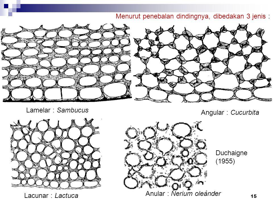 Lamelar : Sambucus Angular : Cucurbita Lacunar : Lactuca Anular : Nerium oleander 15 Menurut penebalan dindingnya, dibedakan 3 jenis : Duchaigne (1955
