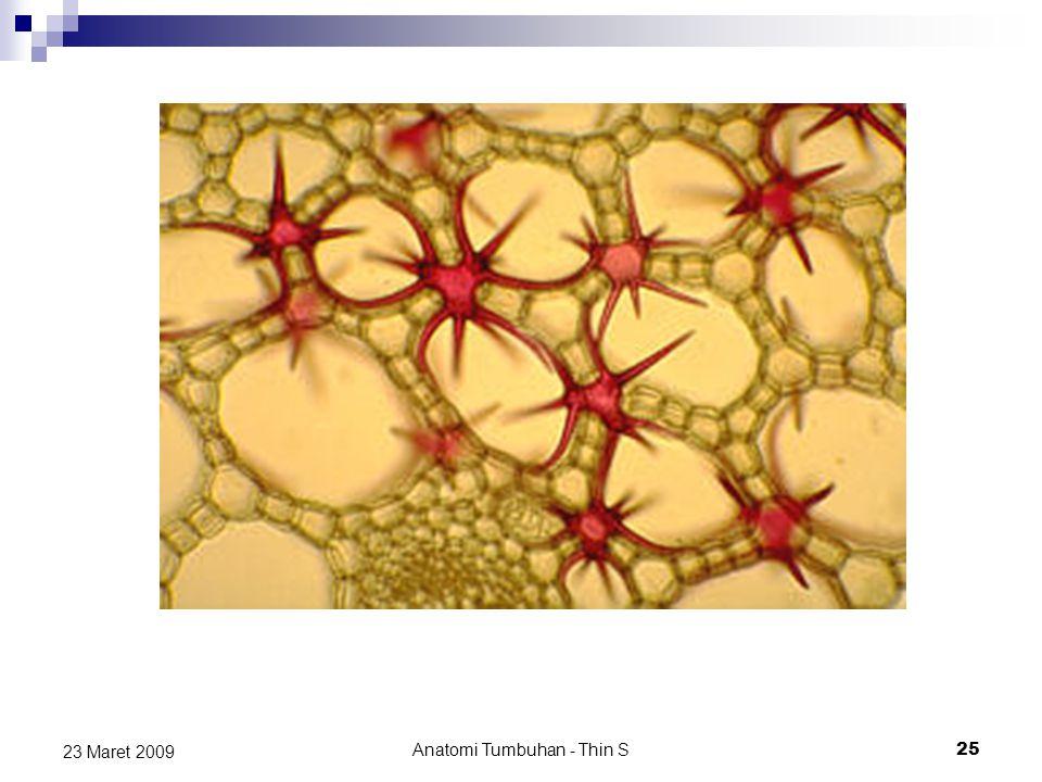 23 Maret 2009 Anatomi Tumbuhan - Thin S 25