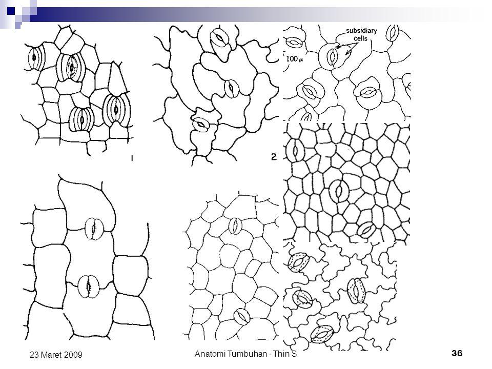 23 Maret 2009 Anatomi Tumbuhan - Thin S 36