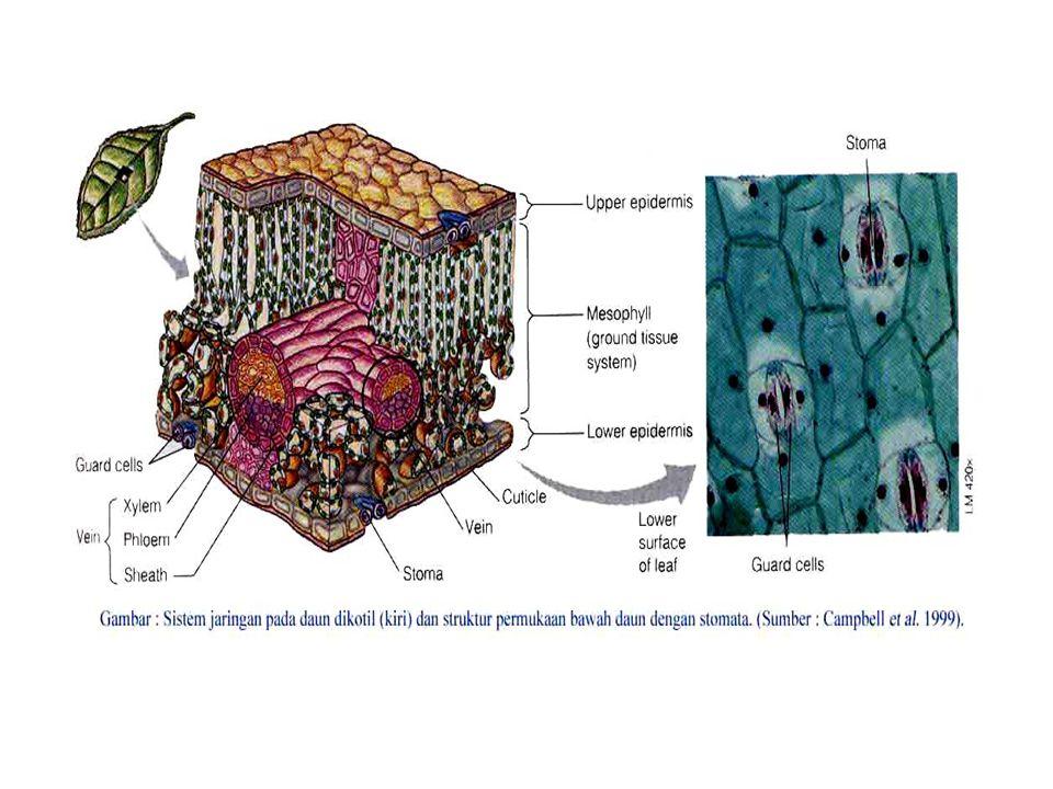 Sel penutup dikelilingi sel-sel yang bentuknya sama atau berbeda dengan sel-sel epidermis lainnya, dan disebut sel tetangga.