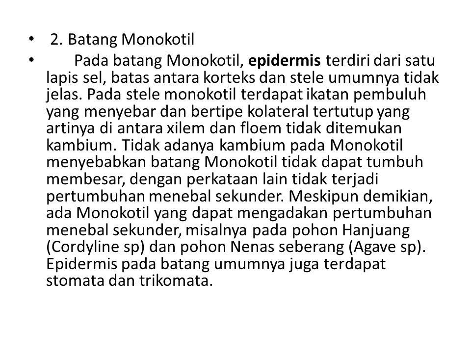 2. Batang Monokotil Pada batang Monokotil, epidermis terdiri dari satu lapis sel, batas antara korteks dan stele umumnya tidak jelas. Pada stele monok