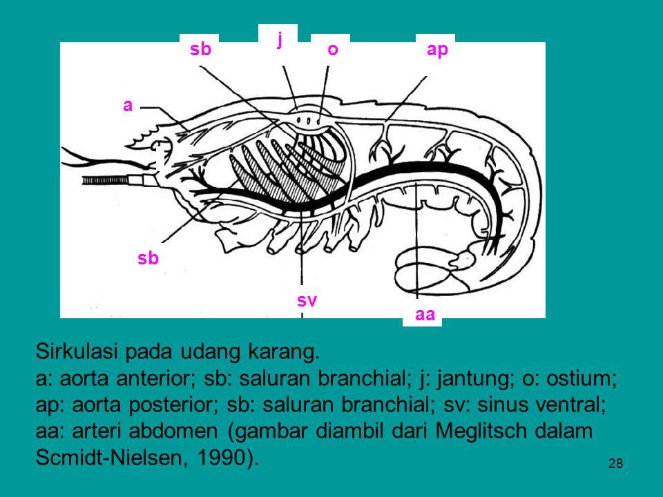 28 ap a sb j aa o sv sb Sirkulasi pada udang karang. a: aorta anterior; sb: saluran branchial; j: jantung; o: ostium; ap: aorta posterior; sb: saluran