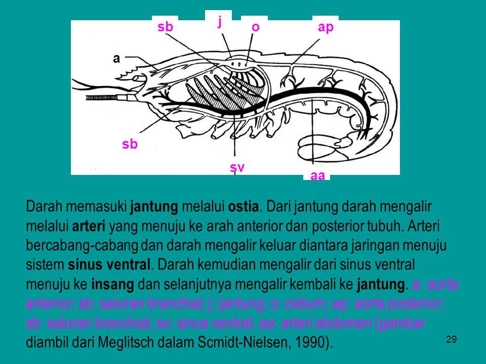 29 ap a sb j aa o sv sb Darah memasuki jantung melalui ostia. Dari jantung darah mengalir melalui arteri yang menuju ke arah anterior dan posterior tu