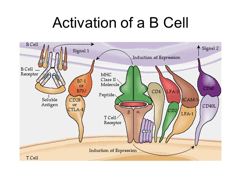 Activation of a B Cell
