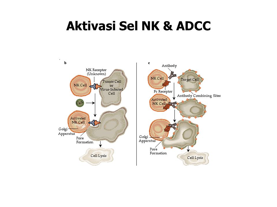 Activation of NK Cells and ADCC