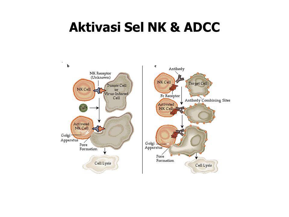 Aktivasi Sel NK & ADCC