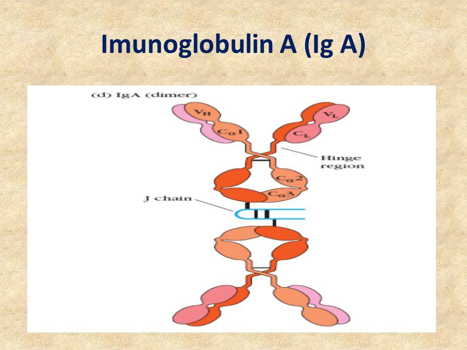 Imunoglobulin A (Ig A)