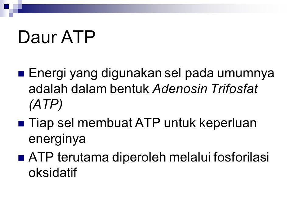 Daur ATP Energi yang digunakan sel pada umumnya adalah dalam bentuk Adenosin Trifosfat (ATP) Tiap sel membuat ATP untuk keperluan energinya ATP terutama diperoleh melalui fosforilasi oksidatif