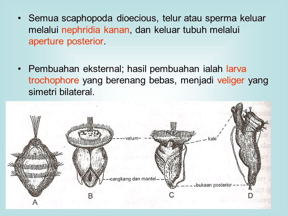 Semua scaphopoda dioecious, telur atau sperma keluar melalui nephridia kanan, dan keluar tubuh melalui aperture posterior. Pembuahan eksternal; hasil