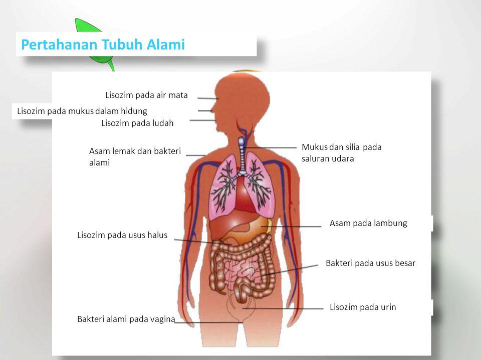 Pertahanan Tubuh Alami Asam lemak dan bakteri alami Lisozim pada mukus dalam hidung Lisozim pada ludah Mukus dan silia pada saluran udara Lisozim pada