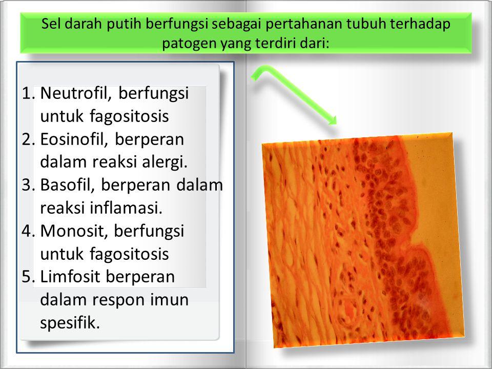 1.Neutrofil, berfungsi untuk fagositosis 2.Eosinofil, berperan dalam reaksi alergi. 3.Basofil, berperan dalam reaksi inflamasi. 4.Monosit, berfungsi u