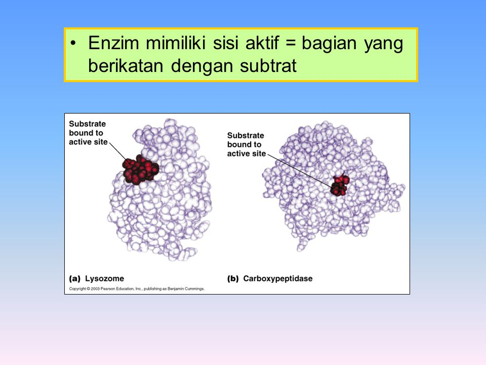 Model Michaelis-Menten Model ini menggambarkan katalis enzim dengan konsep sebagai berikut :.