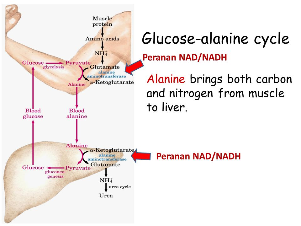 Glucose-alanine cycle Alanine brings both carbon and nitrogen from muscle to liver.