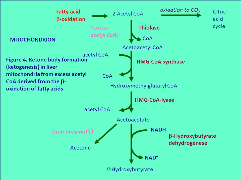 Figure 4. Ketone body formation (ketogenesis) in liver mitochondria from excess acetyl CoA derived from the  - oxidation of fatty acids MITOCHONDRION