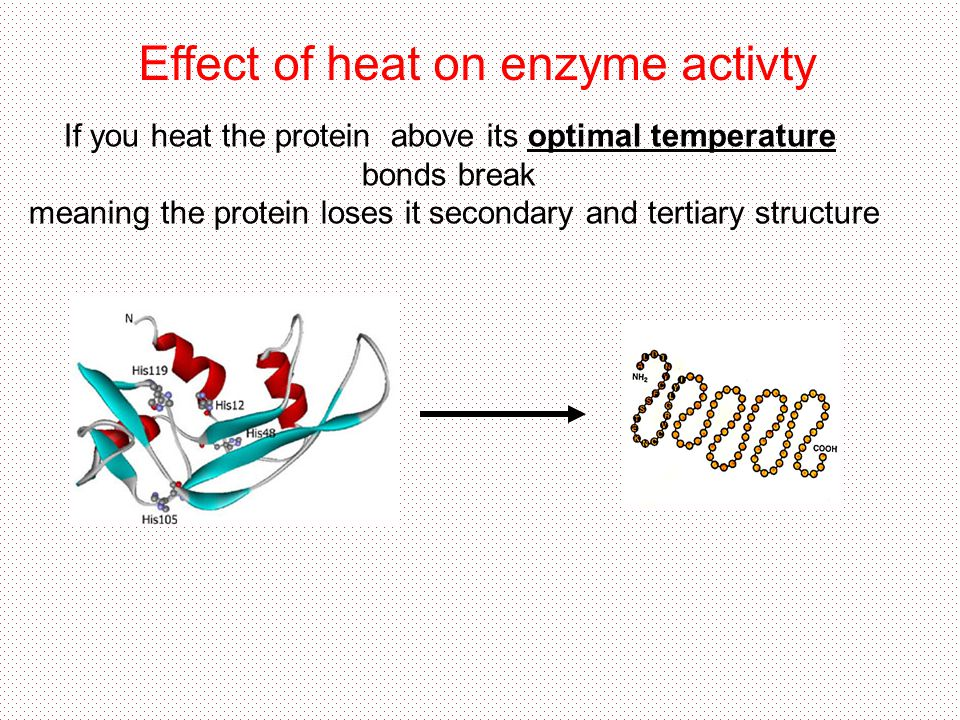 Effect of heat on enzyme activty If you heat the protein above its optimal temperature bonds break meaning the protein loses it secondary and tertiary structure