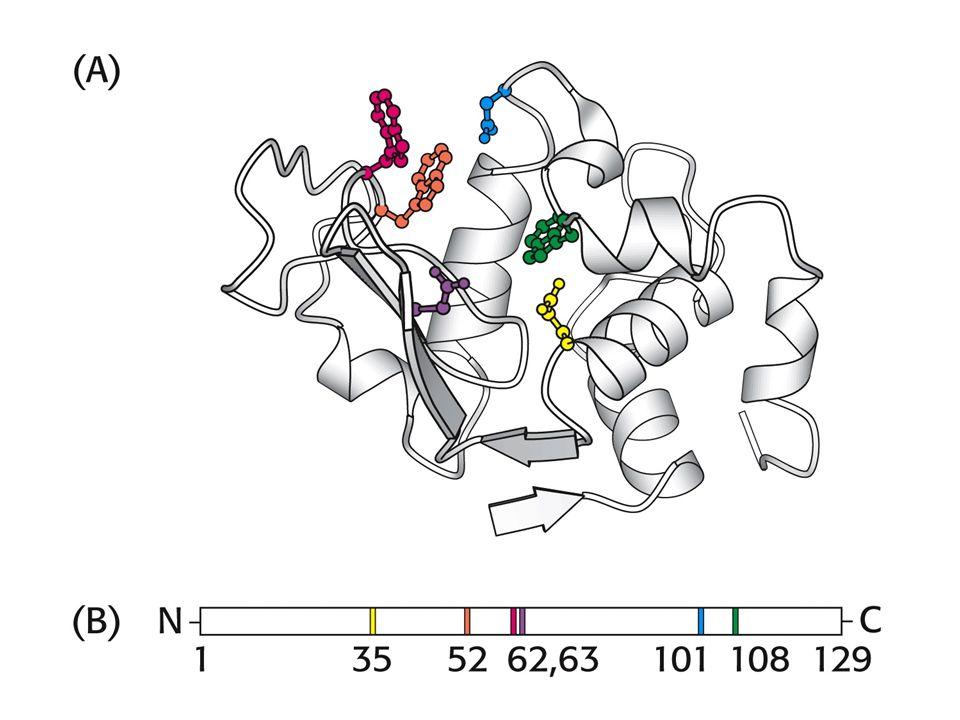 Mekanisme reaksi Model lock & keyModel induced fit