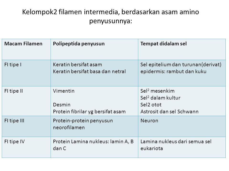 Kelompok2 filamen intermedia, berdasarkan asam amino penyusunnya: Macam FilamenPolipeptida penyusunTempat didalam sel FI tipe IKeratin bersifat asam K