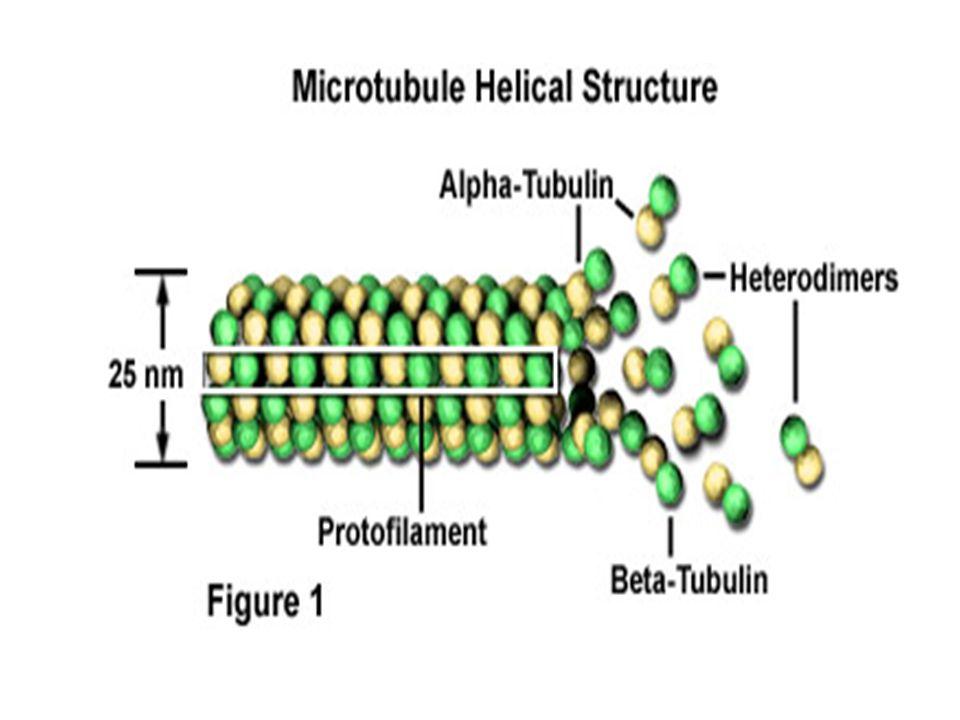 2 kelompok mikrotubula: 1.Mikrotubula stabil mikrotubula yg dapat diawetkan dg larutan fiksatif apapun (Osmium tetraoxyde/ O 5 O 4, Permanganat/ MnO 4 atau aldehid dg suhu berapapun) 2.