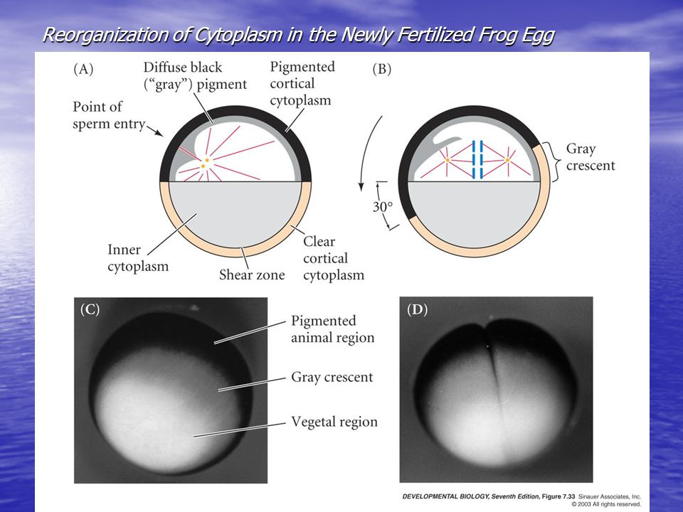 Reorganization of Cytoplasm in the Newly Fertilized Frog Egg