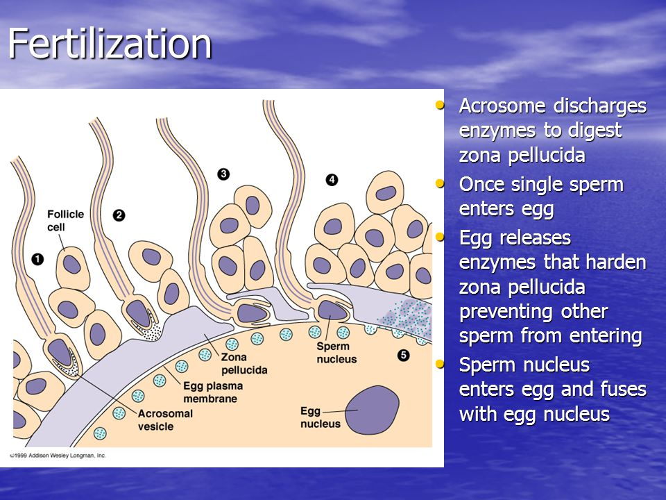 Fertilization Acrosome discharges enzymes to digest zona pellucida Acrosome discharges enzymes to digest zona pellucida Once single sperm enters egg Once single sperm enters egg Egg releases enzymes that harden zona pellucida preventing other sperm from entering Egg releases enzymes that harden zona pellucida preventing other sperm from entering Sperm nucleus enters egg and fuses with egg nucleus Sperm nucleus enters egg and fuses with egg nucleus