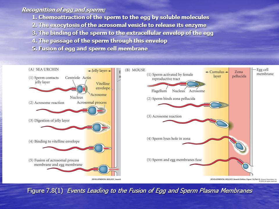 Figure 7.8(1) Events Leading to the Fusion of Egg and Sperm Plasma Membranes Recognition of egg and sperm; 1.