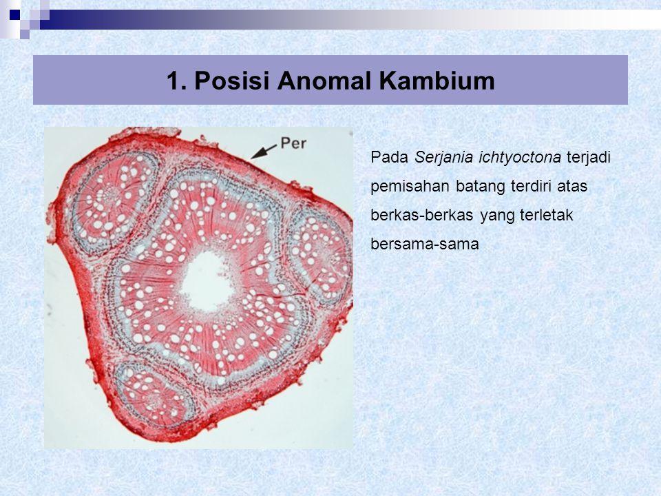  Terbentuknya xilem yang terpotong-potong terjadi oleh kelakuan abnormal kambium 2.