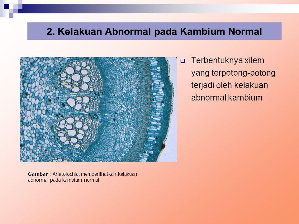  Terbentuknya xilem yang terpotong-potong terjadi oleh kelakuan abnormal kambium 2. Kelakuan Abnormal pada Kambium Normal Gambar : Aristolochia, memp