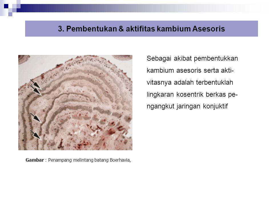 3. Pembentukan & aktifitas kambium Asesoris Sebagai akibat pembentukkan kambium asesoris serta akti- vitasnya adalah terbentuklah lingkaran kosentrik