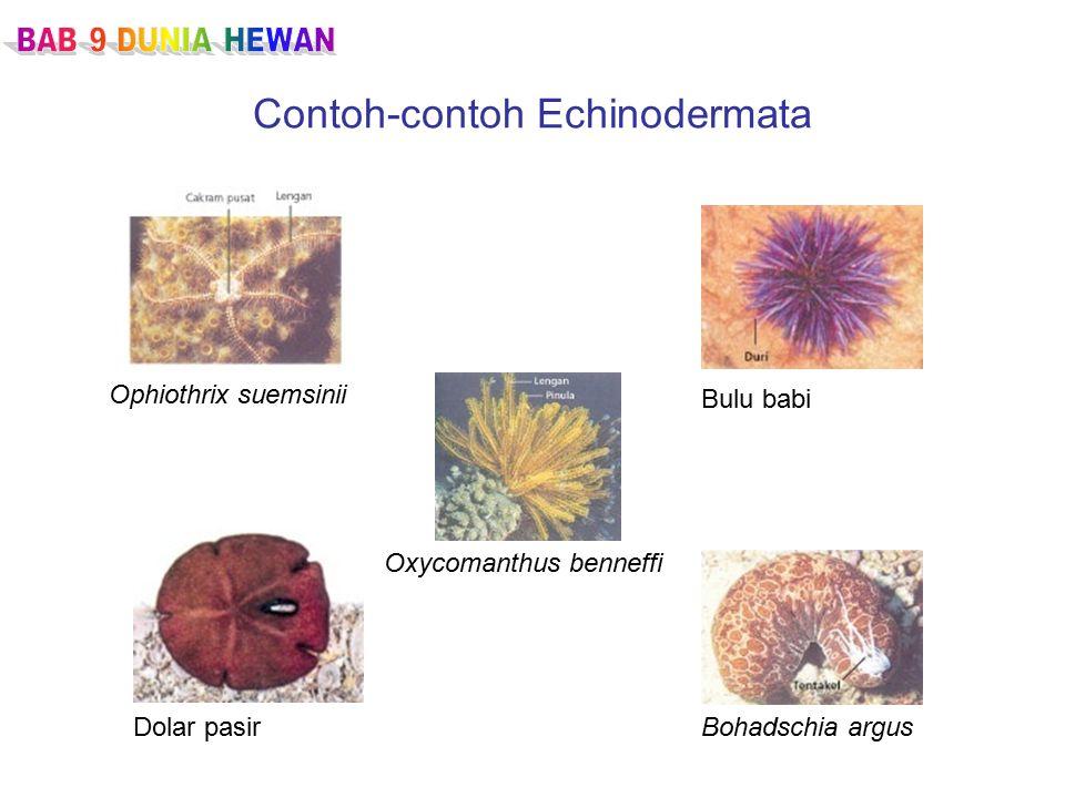 Contoh-contoh Echinodermata Ophiothrix suemsinii Bulu babi Dolar pasirBohadschia argus Oxycomanthus benneffi
