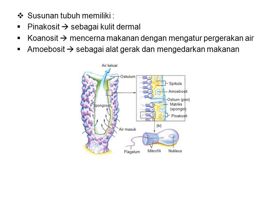  Susunan tubuh memiliki :  Pinakosit  sebagai kulit dermal  Koanosit  mencerna makanan dengan mengatur pergerakan air  Amoebosit  sebagai alat gerak dan mengedarkan makanan Air keluar Oskulum Air masuk Flagelum MikrofiliNukleus Spikula Amoebosit Ostium (pori) Matriks (spongin) Pinakosit Spongosol