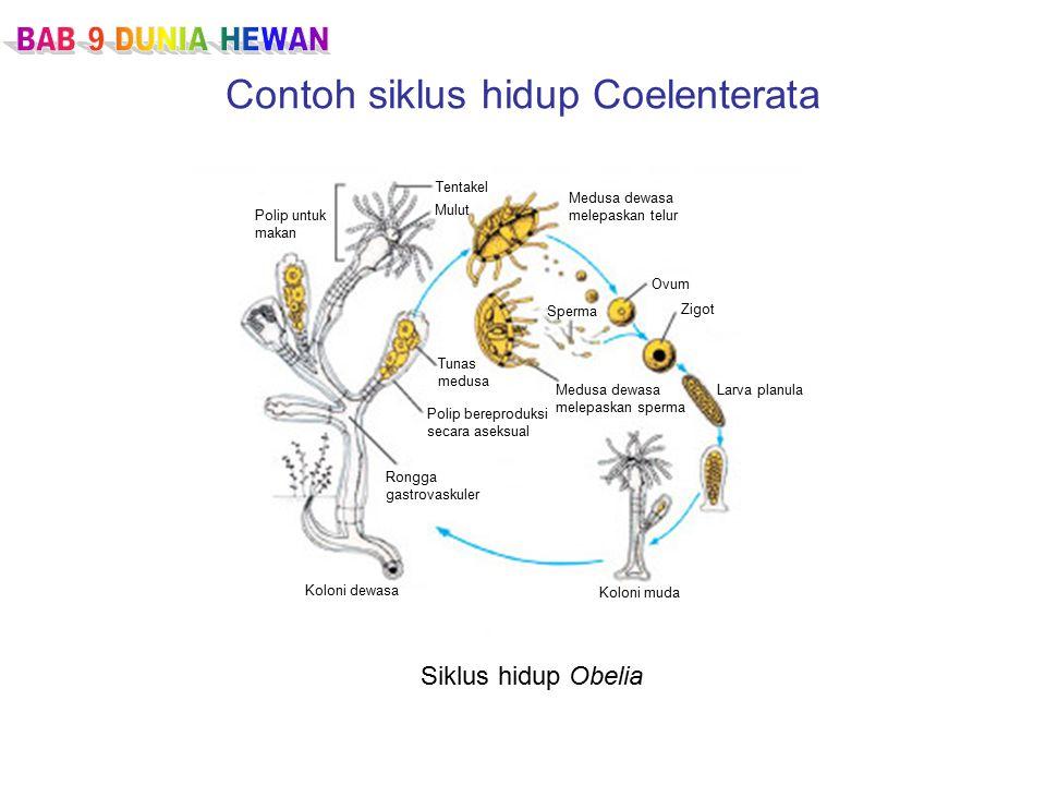 Contoh siklus hidup Coelenterata Siklus hidup Obelia Polip untuk makan Tentakel Mulut Medusa dewasa melepaskan telur Ovum Zigot Larva planulaMedusa dewasa melepaskan sperma Koloni muda Koloni dewasa Rongga gastrovaskuler Polip bereproduksi secara aseksual Tunas medusa Sperma