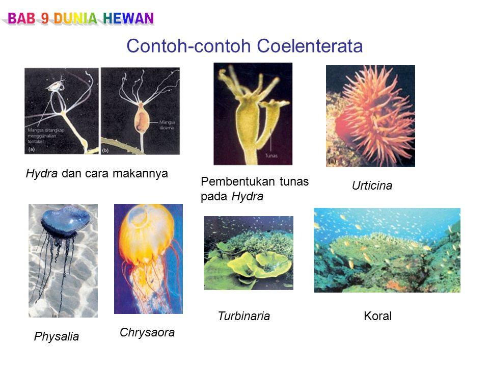 Contoh-contoh Coelenterata Hydra dan cara makannya Pembentukan tunas pada Hydra Physalia Chrysaora Urticina TurbinariaKoral