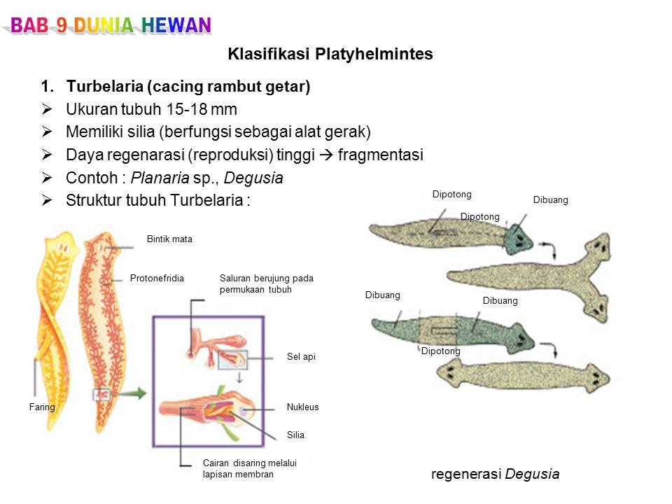 Klasifikasi Platyhelmintes 1.Turbelaria (cacing rambut getar)  Ukuran tubuh 15-18 mm  Memiliki silia (berfungsi sebagai alat gerak)  Daya regenarasi (reproduksi) tinggi  fragmentasi  Contoh : Planaria sp., Degusia  Struktur tubuh Turbelaria :  regenerasi Degusia Bintik mata ProtonefridiaSaluran berujung pada permukaan tubuh Sel api Nukleus Silia Cairan disaring melalui lapisan membran Faring Dipotong Dibuang Dipotong