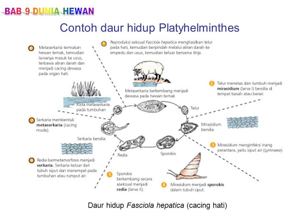 Contoh daur hidup Platyhelminthes Daur hidup Fasciola hepatica (cacing hati)