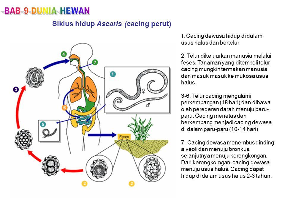 1.Cacing dewasa hidup di dalam usus halus dan bertelur 2.