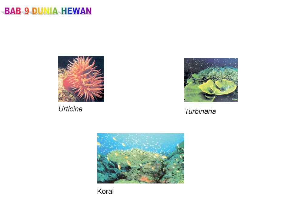 Urticina Turbinaria Koral