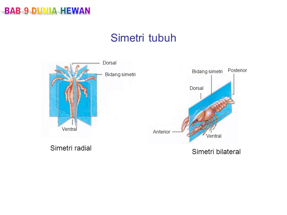 Simetri tubuh Simetri radial Simetri bilateral Dorsal Bidang simetri Ventral Anterior Ventral Dorsal Bidang simetri Posterior