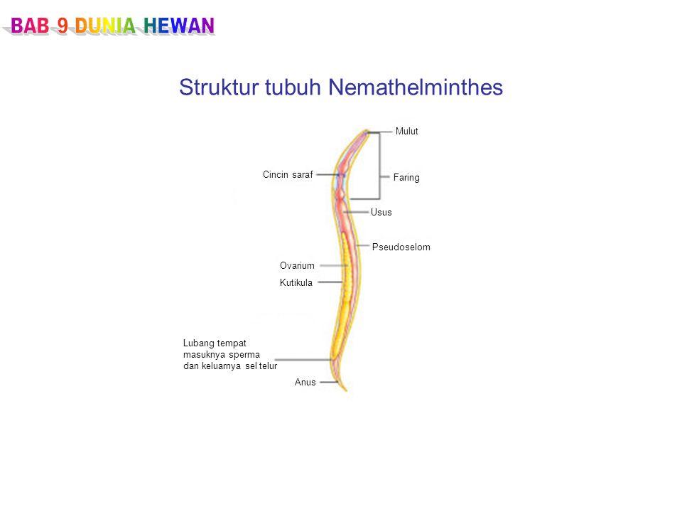 Struktur tubuh Nemathelminthes Cincin saraf Mulut Faring Usus Pseudoselom Ovarium Kutikula Lubang tempat masuknya sperma dan keluarnya sel telur Anus