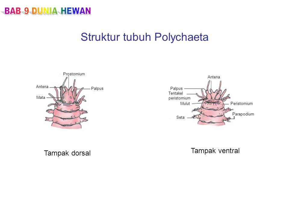 Struktur tubuh Polychaeta Tampak dorsal Tampak ventral Prostomium Palpus Antena Mata Antena Palpus Tentakel peristomium Mulut Seta Peristomium Parapodium