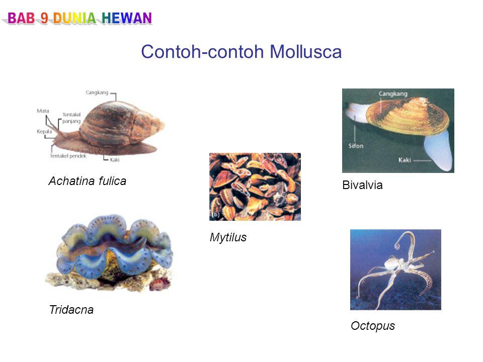 Contoh-contoh Mollusca Achatina fulica Tridacna Mytilus Bivalvia Octopus