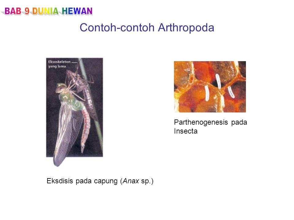 Contoh-contoh Arthropoda Eksdisis pada capung (Anax sp.) Parthenogenesis pada Insecta