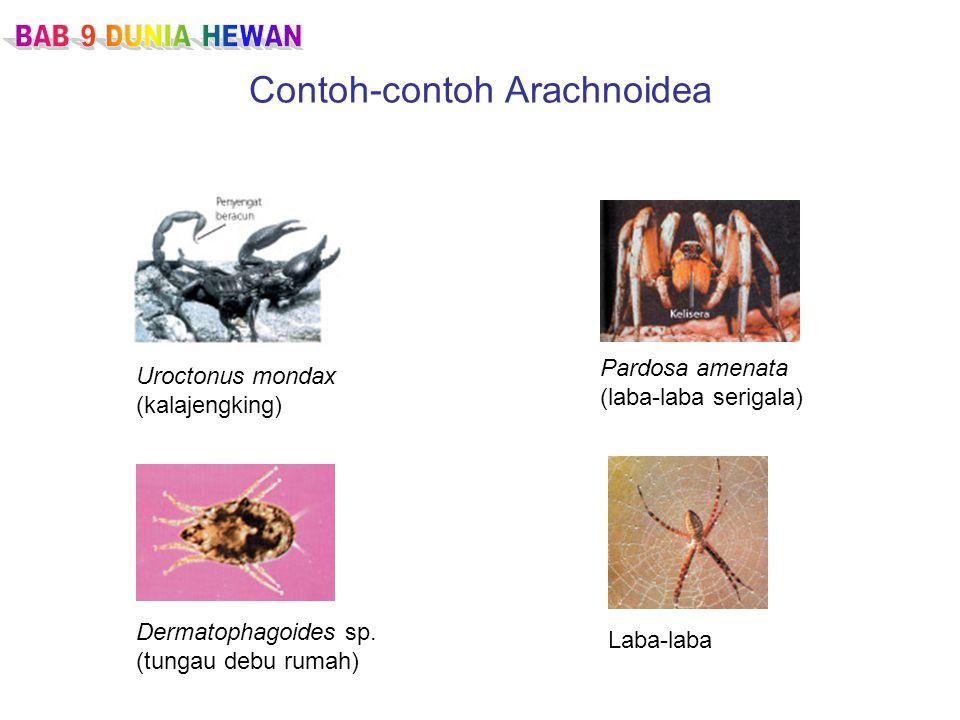 Contoh-contoh Arachnoidea Uroctonus mondax (kalajengking) Pardosa amenata (laba-laba serigala) Dermatophagoides sp.