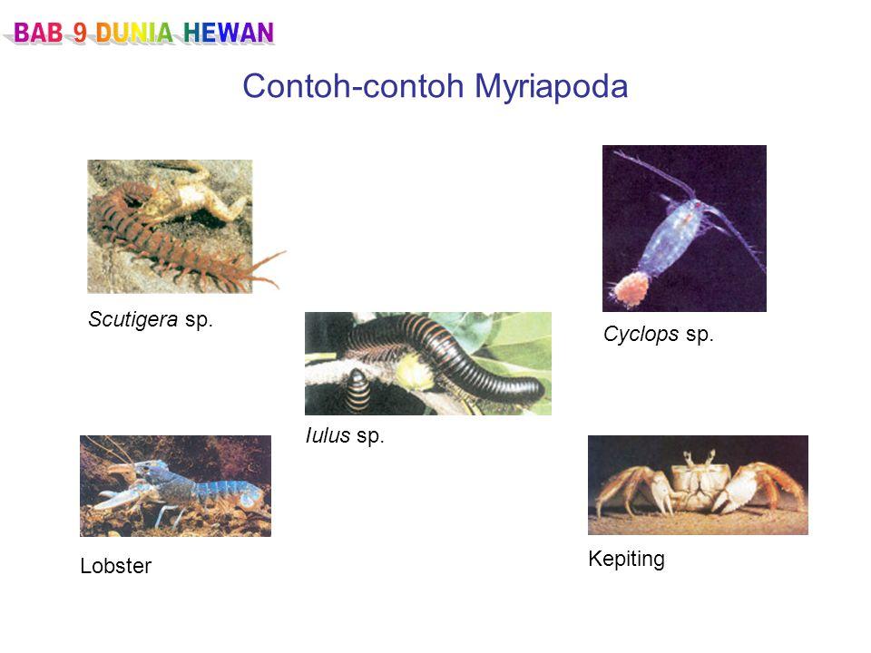 Contoh-contoh Myriapoda Scutigera sp. Iulus sp. Lobster Kepiting Cyclops sp.